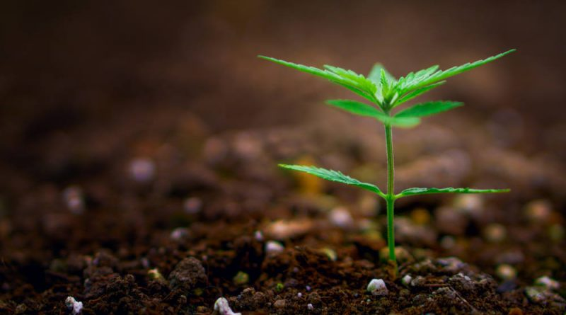 5 Things Every Beginner in Growing Marijuana Should Know | Pot Growing